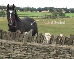 'Herbie' Yearling by Califet (IRE)